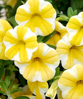 calibrachoa lemon slice