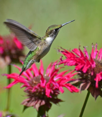 hummingbirdmonarda
