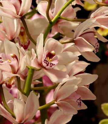 orchidcymbidium