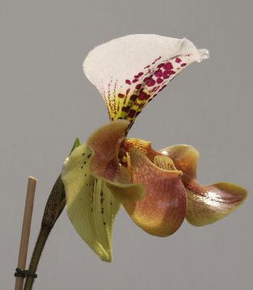 orchidpaphiopedilum