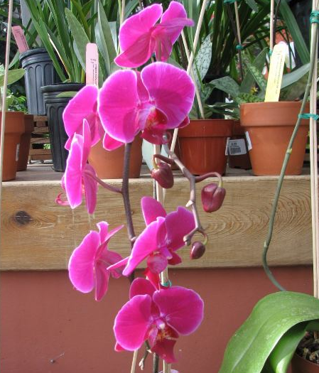 orchidphalaenopsis