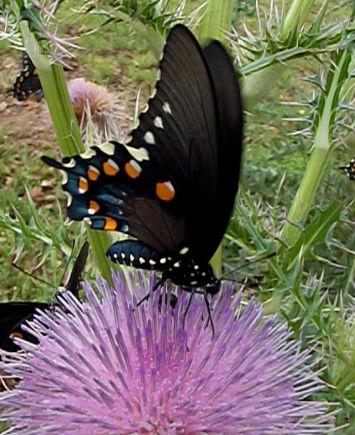 perennialbutterfly