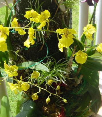 orchidoncidium