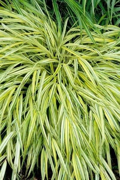 Ornamental Grasses Upstate Ny : Ornamental grasses for shade faddegon s nursery latham ny