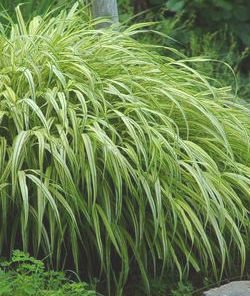 Ornamental grasses for shade faddegon 39 s nursery latham ny for Ornamental grasses that grow in shade