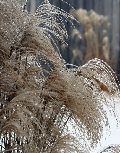 wintergrasses