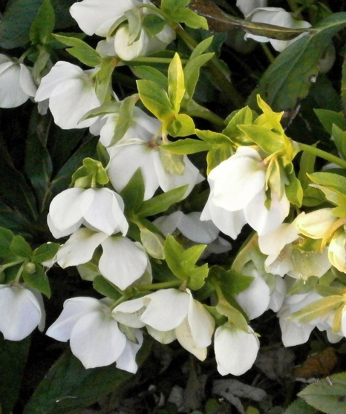 Shady players faddegons nursery inc lenten rose helleborus 12 24 tall this 2005 perennial plant of the year has nodding flowers in white yellow pink red burgundy as well as mightylinksfo