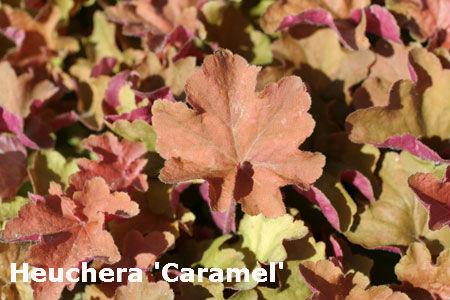 heuchera caramel centerton nursery
