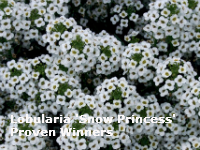lobularia snow princess proven winners