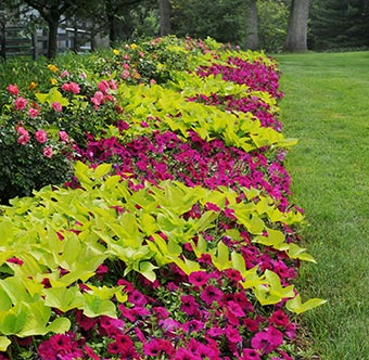 Color the true performers faddegon 39 s nursery latham ny - Wave petunias in containers ...