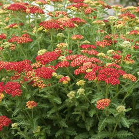 yarrow strawberry seduction prides corner farms