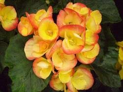 begonia rieger