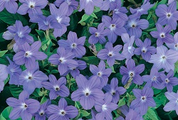 browallia blue