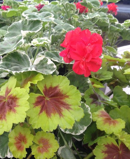 pelargoniumsm