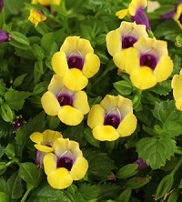 Got shade faddegons nursery inc torenia this plant also called wishbone flower will crank out flowers all summer into fall flower colors are blue pink rose white and yellow with a mightylinksfo Gallery