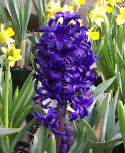hyacinth easter greenhouse
