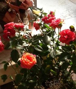 miniature easter rose