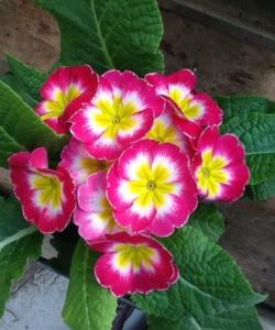 primrose easter