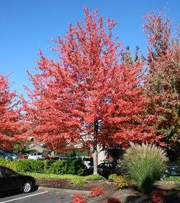 red sunset maple prides corner