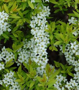 spirea mellow yellow prides corner farms