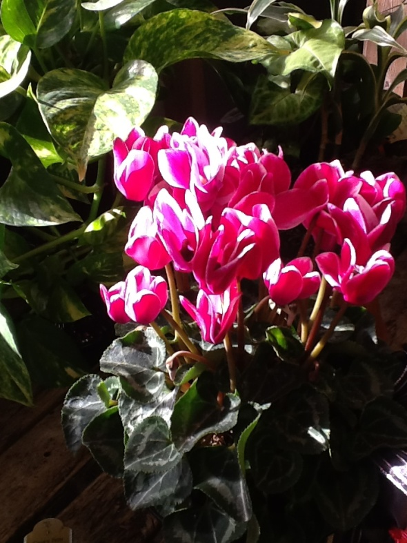 Cyclamen Plant Care Growing Tips Cutting Planting: Faddegon's Nursery - Latham, NY