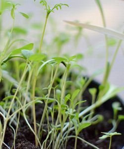 microgreenssprouts