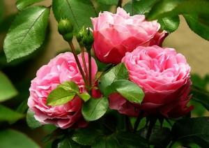 roses-279583_640 (2)