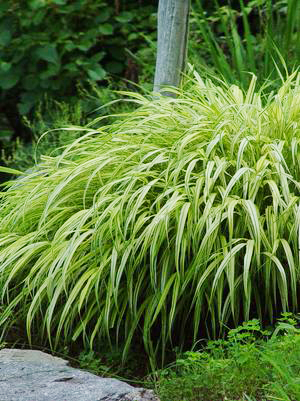Ornamental grasses faddegon 39 s nursery latham ny for Short variegated grass