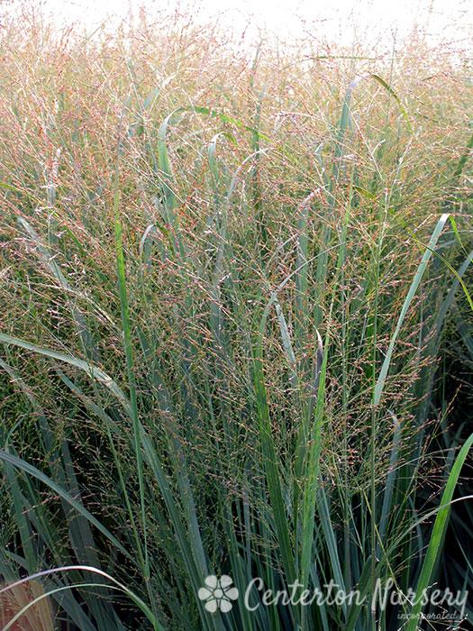 Ornamental Grasses Upstate Ny : Ornamental grasses faddegon s nursery latham ny