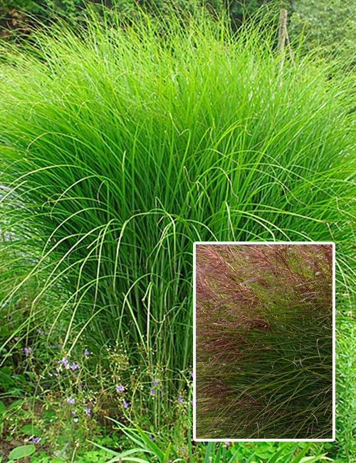 Ornamental grasses faddegon 39 s nursery latham ny for Tall grass with plumes