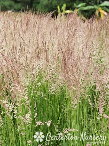 Ornamental grasses faddegon 39 s nursery latham ny for Short ornamental grasses full sun