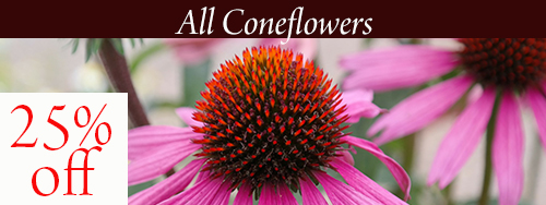 coneflowers2