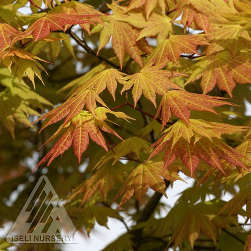Japanese Maple Autumn Moon Faddegons Nursery Inc