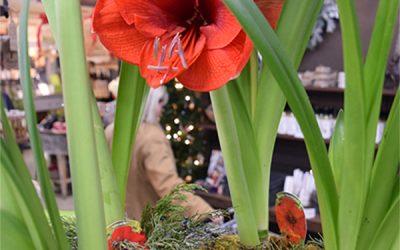 Bringing Back the Magic – Reblooming Holiday Plants