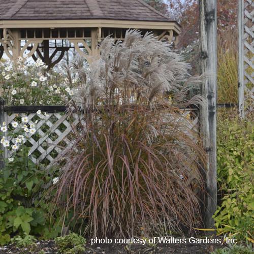 Ornamental grass faddegons nursery inc ornamental grass oktoberfest workwithnaturefo