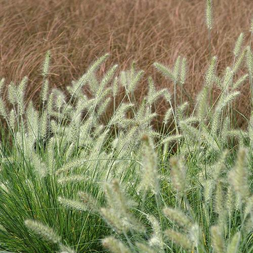 Hameln Ornamental Grass Fountain grass hameln faddegons nursery inc fountain grass hameln workwithnaturefo