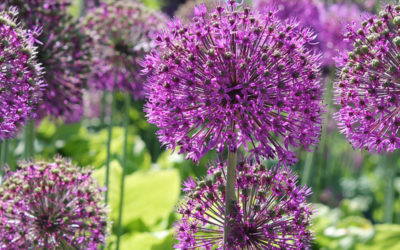Alliums – Discover The Missing Link!
