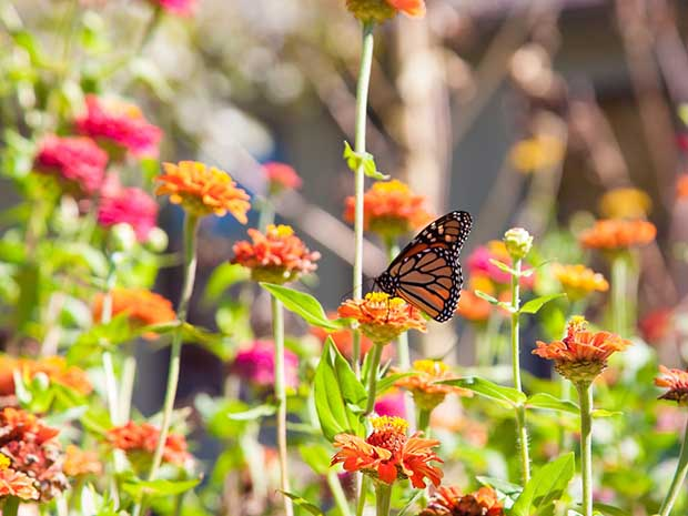 Beau Butterfly Gardening Tips