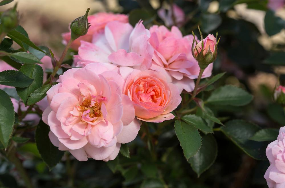 What's So Easy About Easy Elegance Roses?