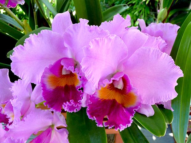 Orchid Cattleya Care Faddegons Nursery Inc
