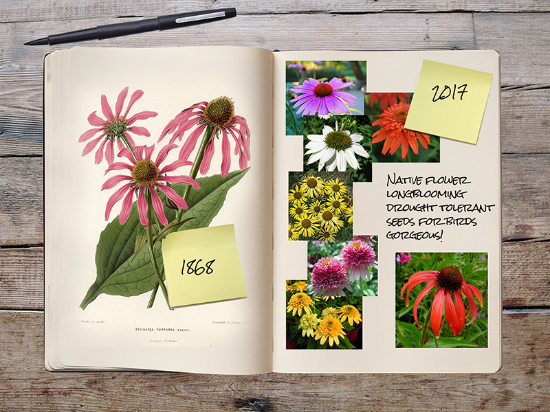 Garden Notebook – The Echinacea Explosion!