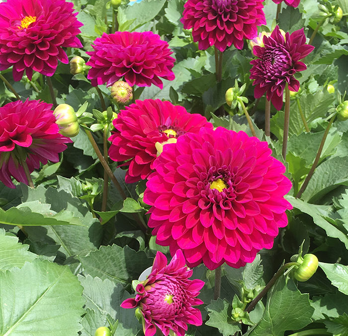 Dahlias – The Dalina® Grande Series