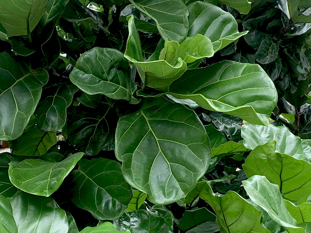The Fiddle Leaf Fig