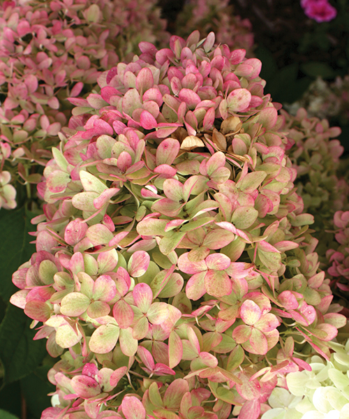 Hydrangeas For Fall Color