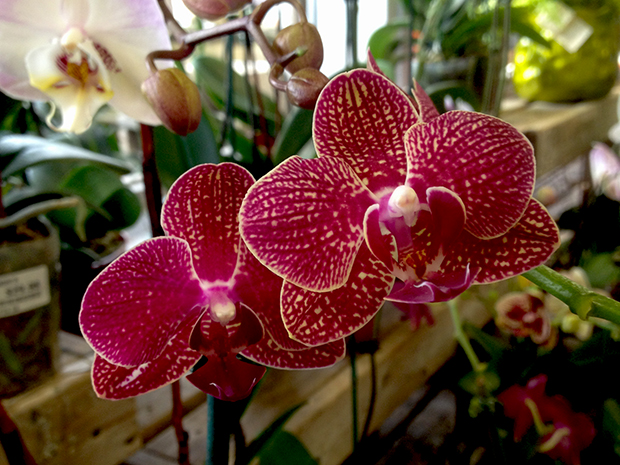 Orchid phalaenopsis care faddegon 39 s nursery inc for Orchidea phalaenopsis cura