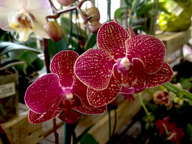 Orchid Phalaenopsis Care