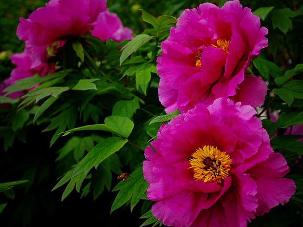 Oh Those Huge Fluffy Flowers There Is Nothing Like Them Peonies Must Be Hard To Grow With Blooms Not So Are Deliciously Easygoing