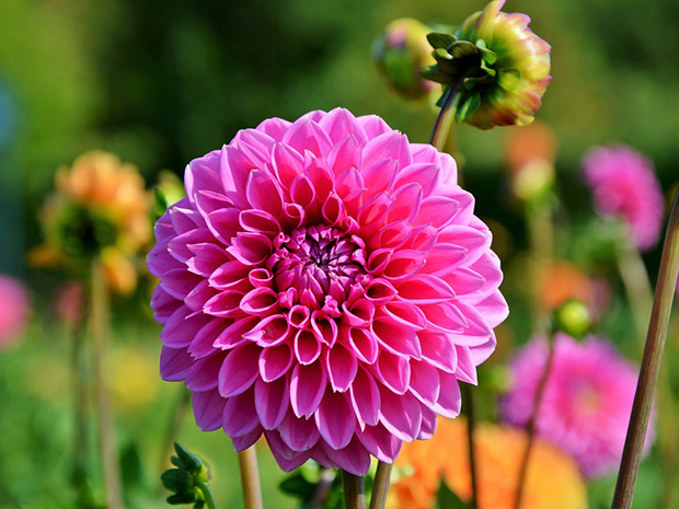 Dahlias – Delightfully Diverse