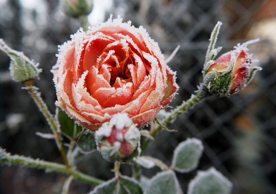 Winter Care of Roses