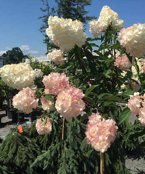 Hydrangea Paniculata – Garden Nobility